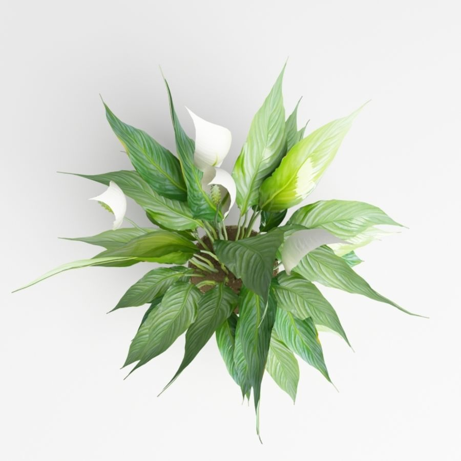 Spathiphyllum, Spath, peace lilies royalty-free 3d model - Preview no. 5