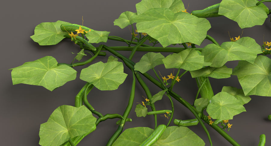 Plant de concombre royalty-free 3d model - Preview no. 9