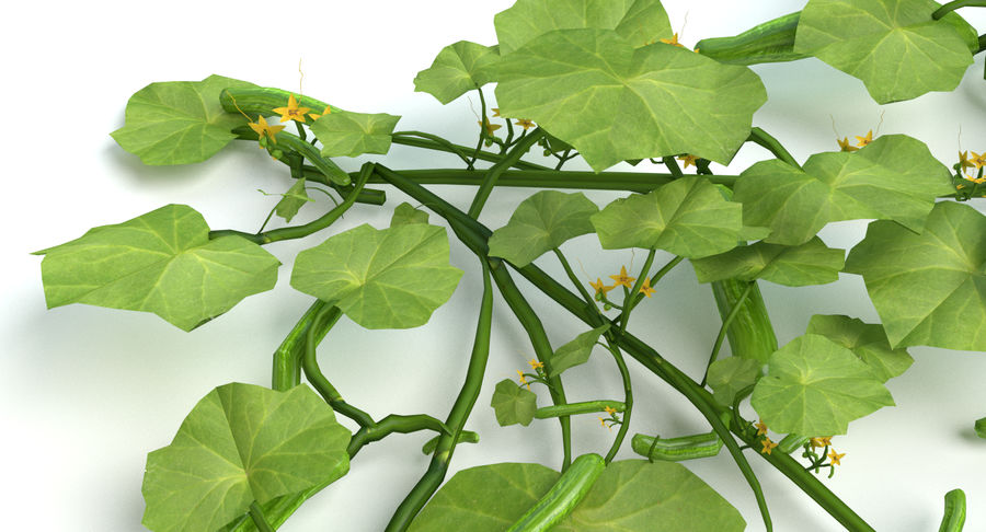 Plant de concombre royalty-free 3d model - Preview no. 7