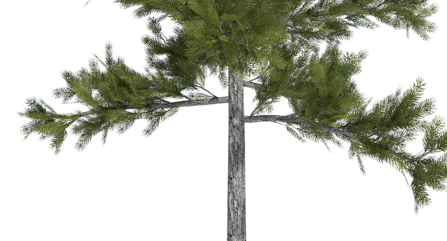 Conifer 1 royalty-free 3d model - Preview no. 6