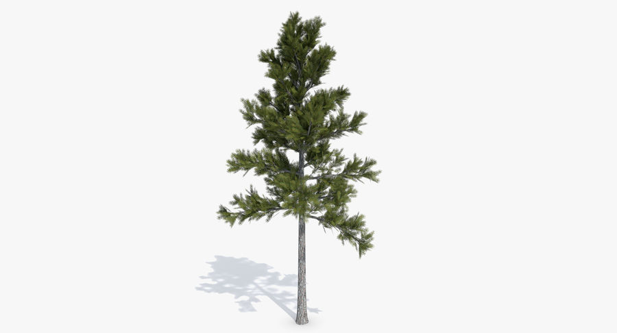 Conifer 1 royalty-free 3d model - Preview no. 2