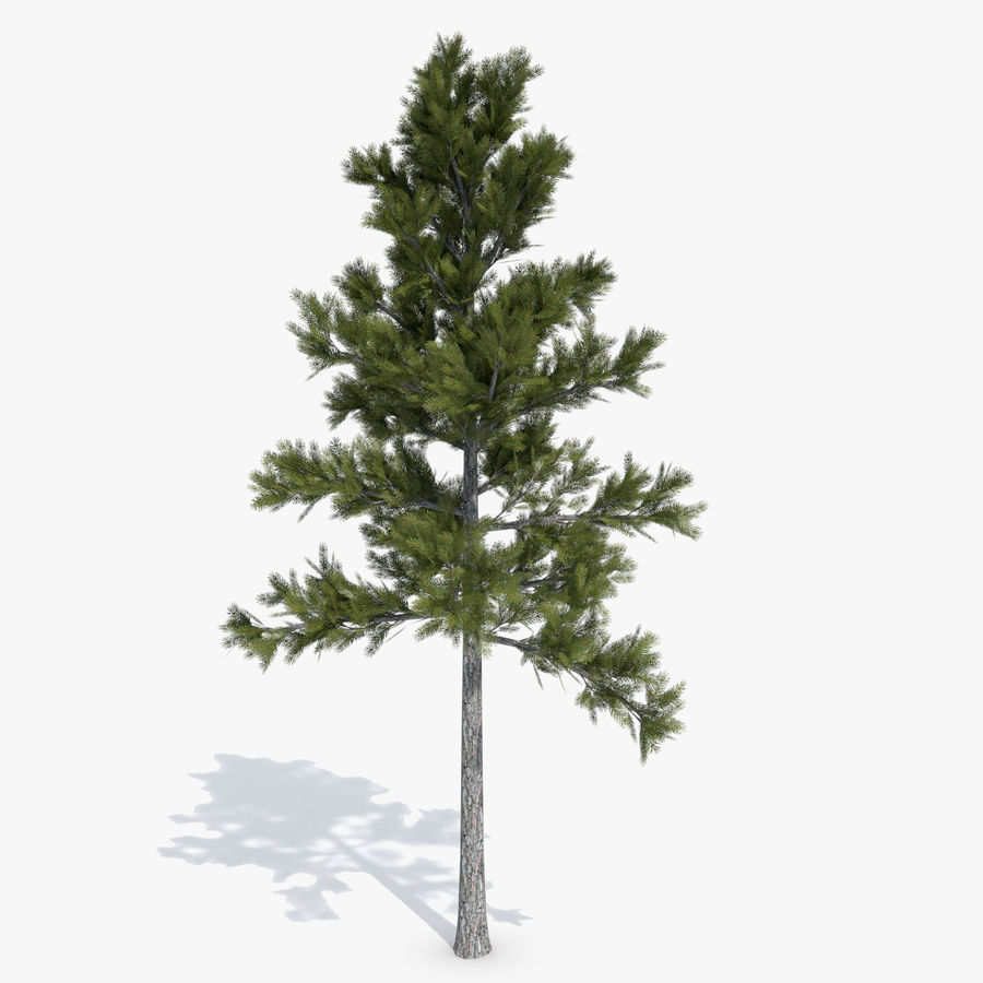 Conifer 1 royalty-free 3d model - Preview no. 1