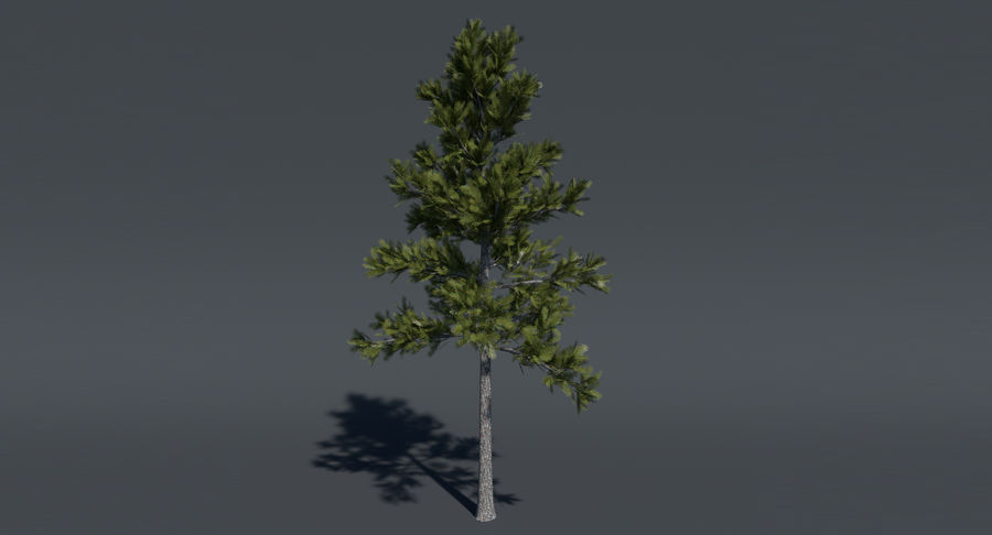 Conifer 1 royalty-free 3d model - Preview no. 3