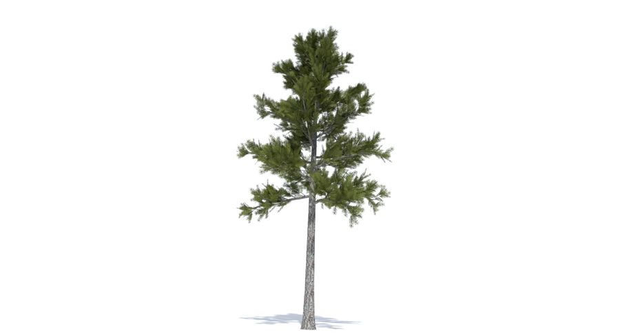 Conifer 1 royalty-free 3d model - Preview no. 4
