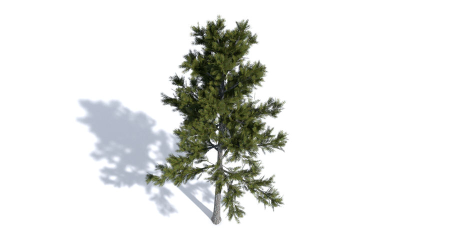 Conifer 1 royalty-free 3d model - Preview no. 5