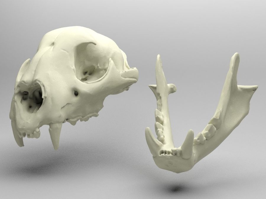 Crâne de lion de montagne royalty-free 3d model - Preview no. 6