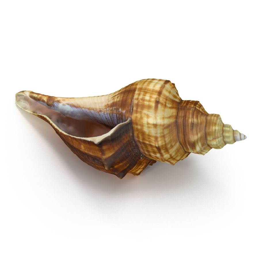 Sea Shell 05 royalty-free 3d model - Preview no. 11