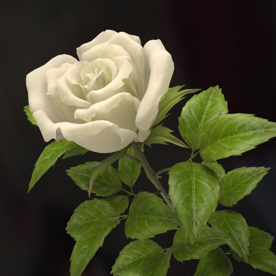 rose white royalty-free 3d model - Preview no. 4