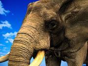 Elephant (african) 3d model
