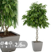 Spirala roślinna Ficus 3d model