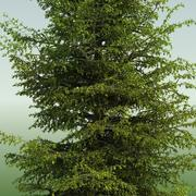 MOUNTAIN HEMLOCK CONIFER TREE 02 3d model
