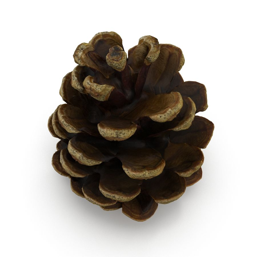 Pine Cone Open royalty-free 3d model - Preview no. 4