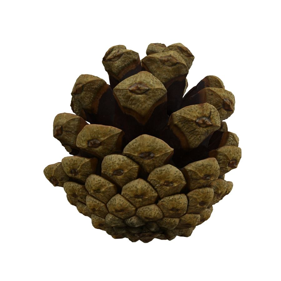 Pine Cone Open royalty-free 3d model - Preview no. 6