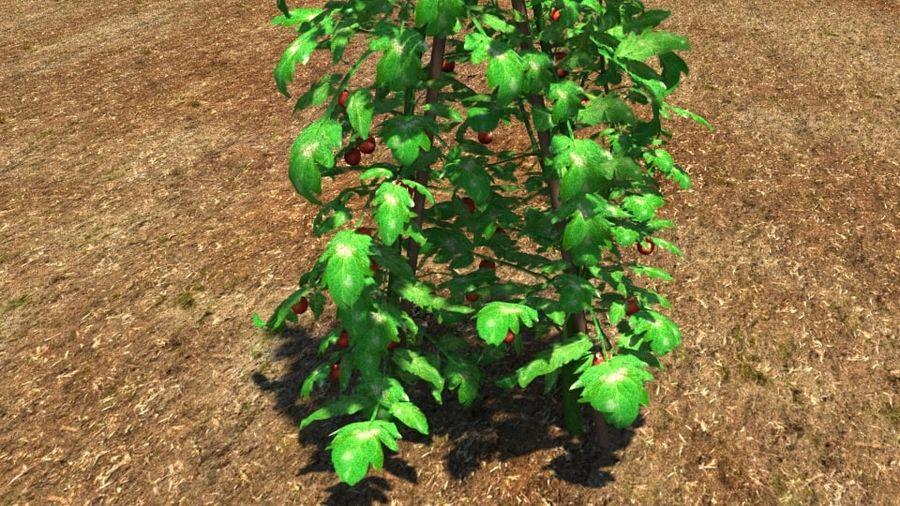 Planta de tomate royalty-free 3d model - Preview no. 3