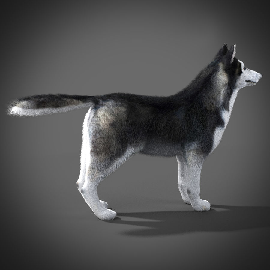 Siberian Husky rigged royalty-free 3d model - Preview no. 9