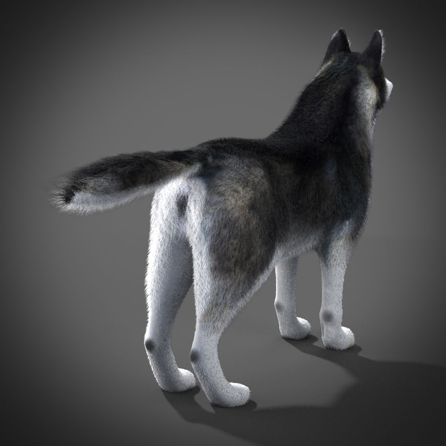 Siberian Husky rigged royalty-free 3d model - Preview no. 3