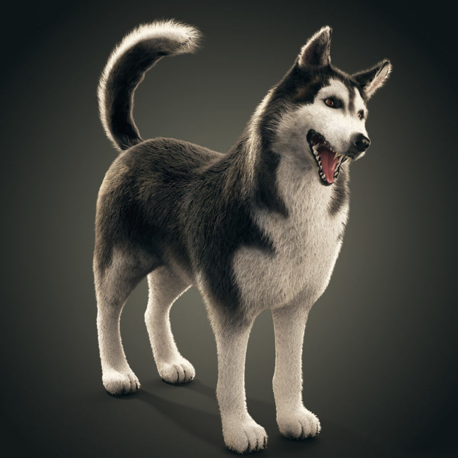 Siberian Husky rigged royalty-free 3d model - Preview no. 1