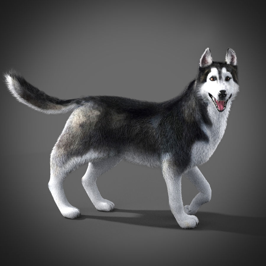 Siberian Husky rigged royalty-free 3d model - Preview no. 6