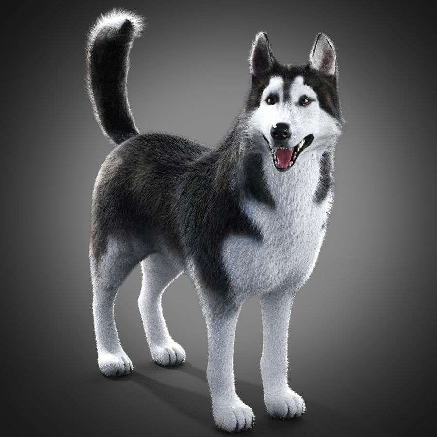 Siberian Husky rigged royalty-free 3d model - Preview no. 2