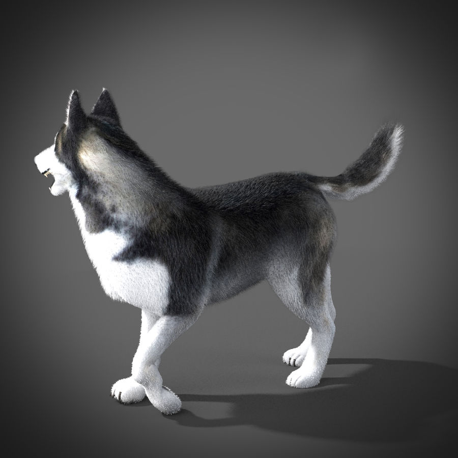 Siberian Husky rigged royalty-free 3d model - Preview no. 7
