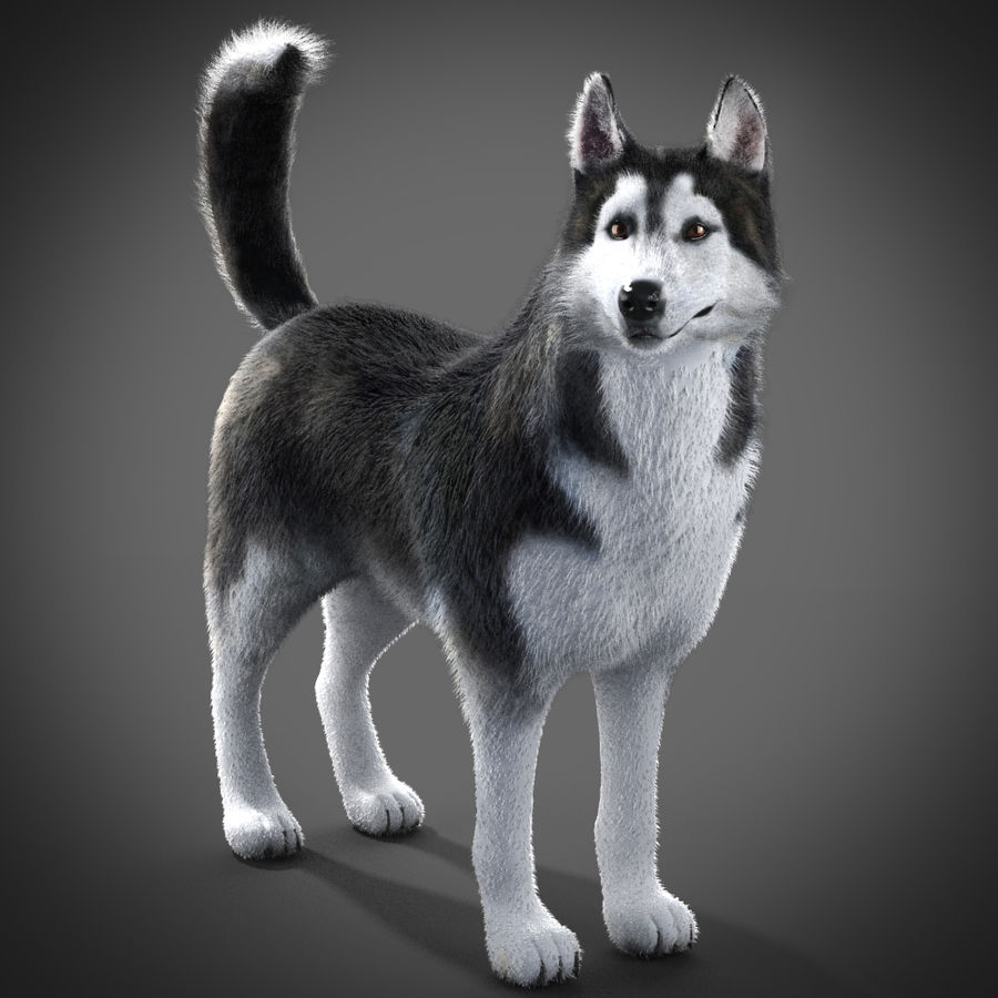 Siberian Husky rigged royalty-free 3d model - Preview no. 8