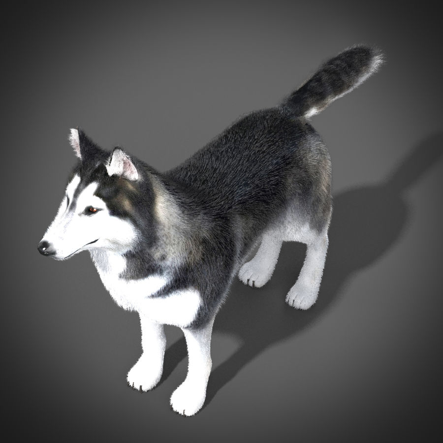 Siberian Husky rigged royalty-free 3d model - Preview no. 4
