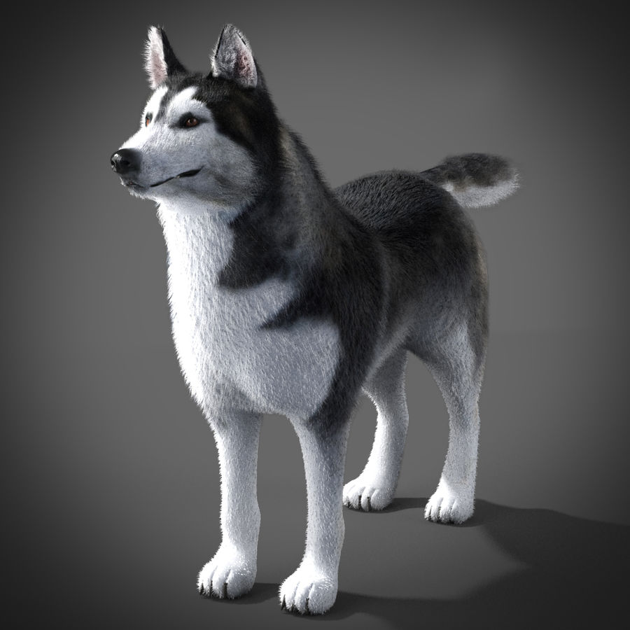 Siberian Husky rigged royalty-free 3d model - Preview no. 5