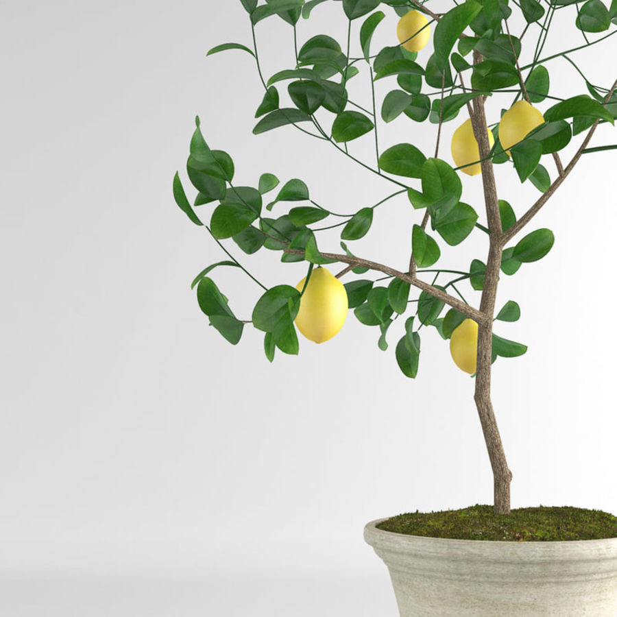 Lemon Tree Images Free