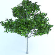 acer platanoides 7 meters maple 3d model