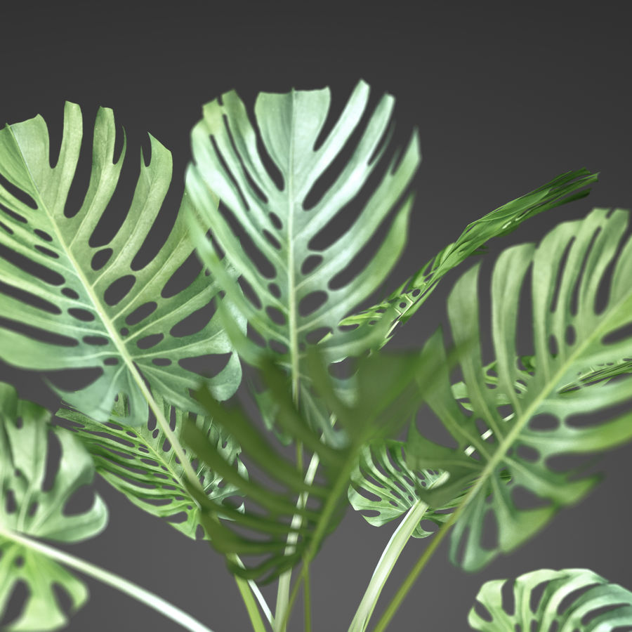 home plant Monstera royalty-free 3d model - Preview no. 3
