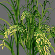 immature rice panicle 3d model