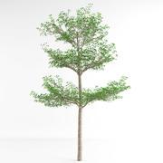 Terminalia Ivorensis tree 3d model