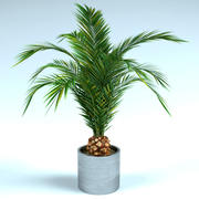 phoenix palm 2 i potten 3d model