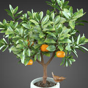 Hem Plant Orange Tree 3d model