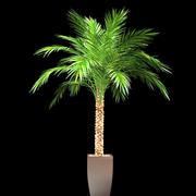 phoenix palm i potten 3d model