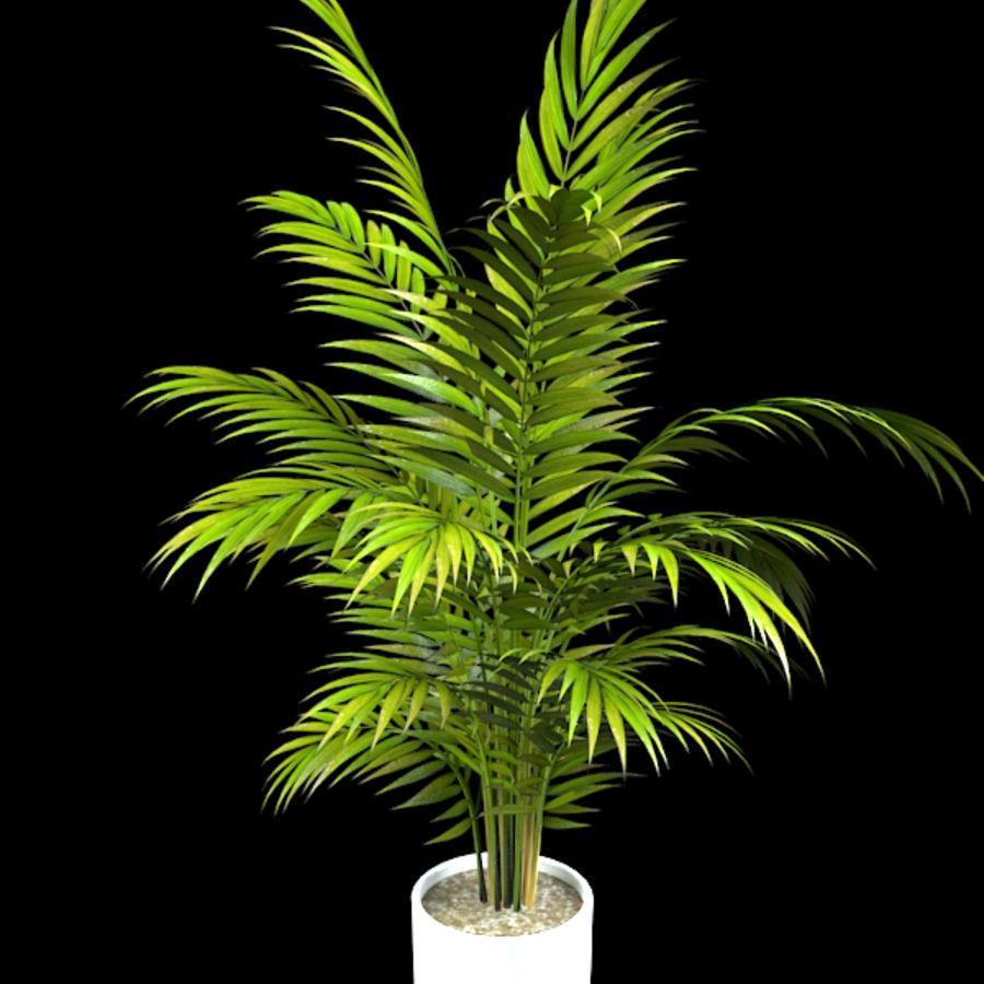 asian-palm-areca