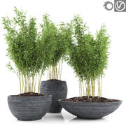 竹子植物2(Fargesia Murielae) 3d model