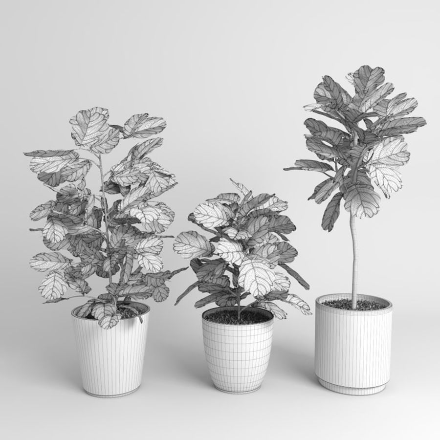 Ficus Lyrata Trees (Fiddle-Leaf Fig) royalty-free modelo 3d - Preview no. 9