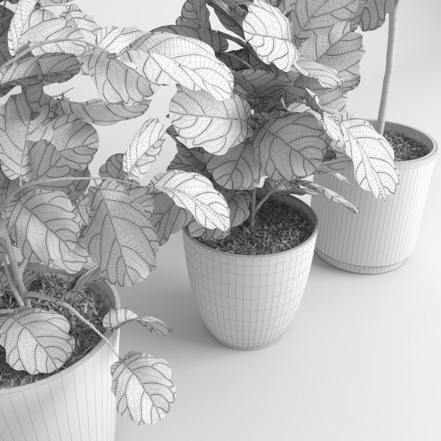 Ficus Lyrata Ağaçları (Fiddle-Leaf Incir) royalty-free 3d model - Preview no. 11