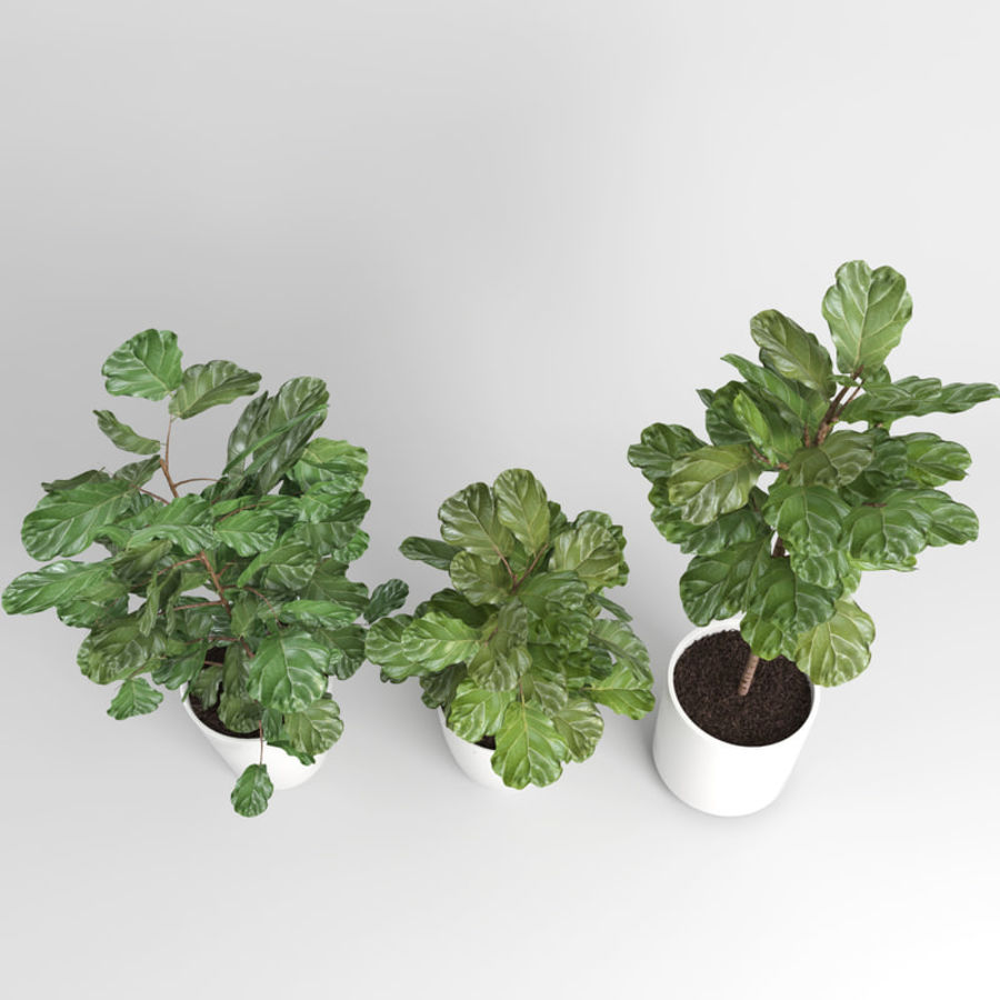 Ficus Lyrata Trees (Fiddle-Leaf Fig) royalty-free 3d model - Preview no. 5