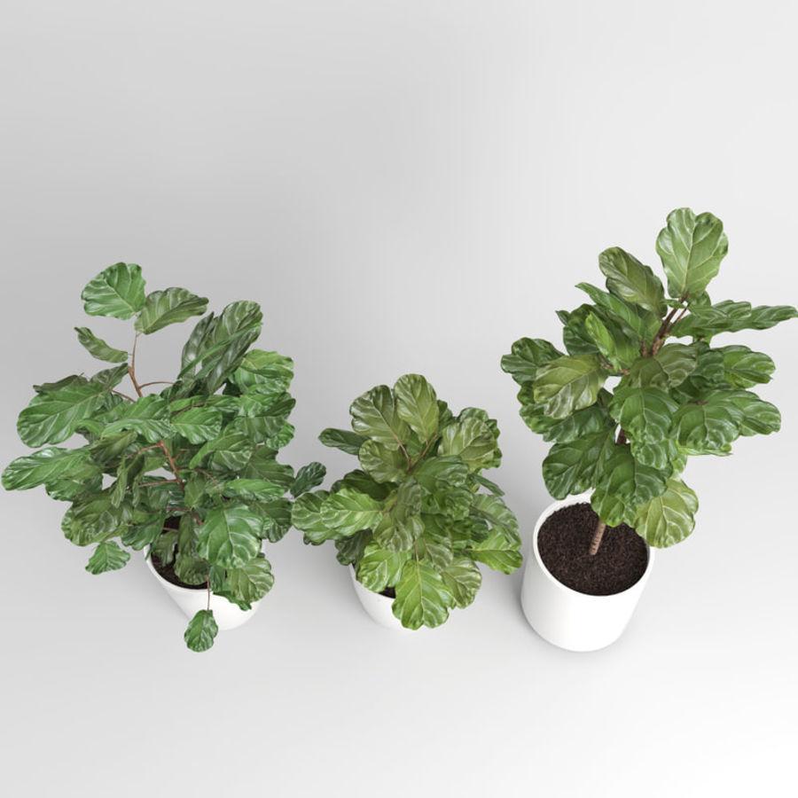 Ficus Lyrata Ağaçları (Fiddle-Leaf Incir) royalty-free 3d model - Preview no. 5