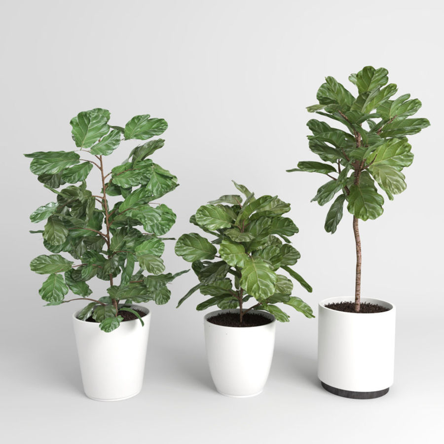 Ficus Lyrata Trees (Fiddle-Leaf Fig) royalty-free modelo 3d - Preview no. 3