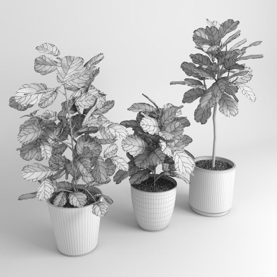 Ficus Lyrata Trees (Fiddle-Leaf Fig) royalty-free modelo 3d - Preview no. 8