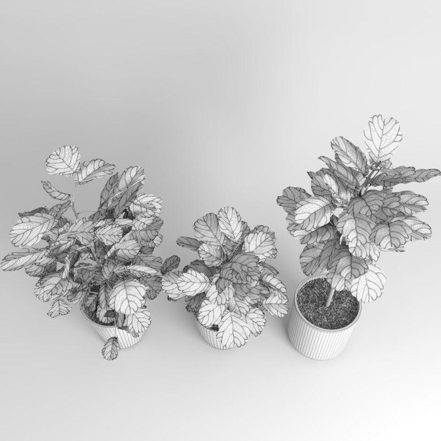 Ficus Lyrata Ağaçları (Fiddle-Leaf Incir) royalty-free 3d model - Preview no. 10