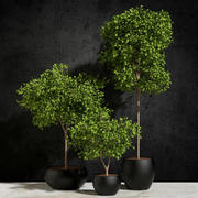 Plants Ficus Benjamin 3d model