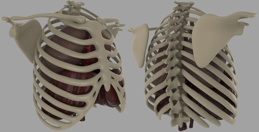 Chest Diagram royalty-free 3d model - Preview no. 1