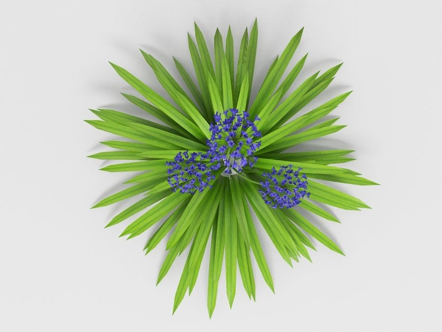 AGAPANTHUS AFRICANUS royalty-free 3d model - Preview no. 5