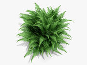 Robust Male Fern (224) 3d model