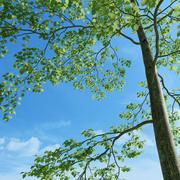 Drzewo bukowe (Fagus Sylvatica 4) 3d model