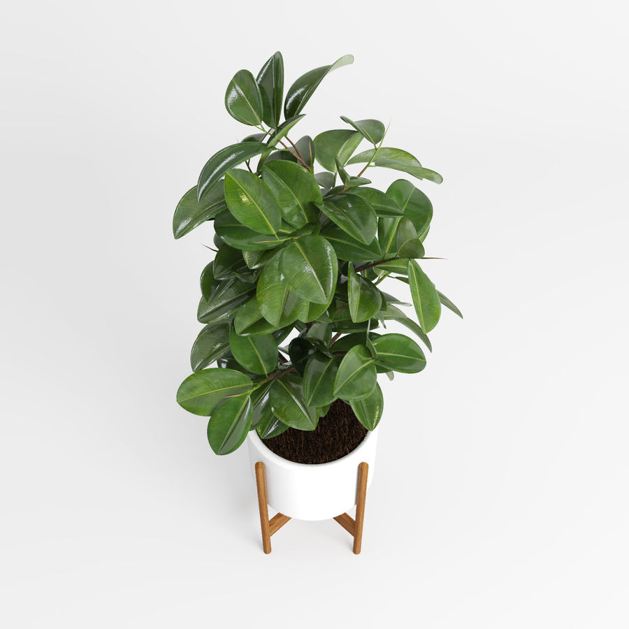 Árvores Ficus royalty-free 3d model - Preview no. 5